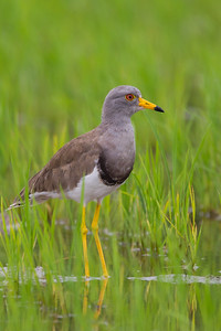 Gray-headed Lapwing - Kanagawa Prefecture, Japan