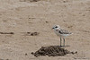 Kentish Plover - Kutch, Gujrat, India