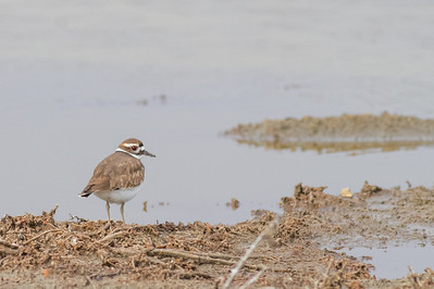 Killdeer - Alviso, CA, USA