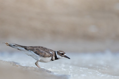 Killdeer - Half Moon Bay, CA, USA
