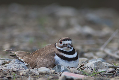 Killdeer - Cupertino, CA, USA