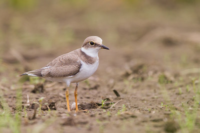 Little Ringed Plover - Kanagawa Prefecture, Japan
