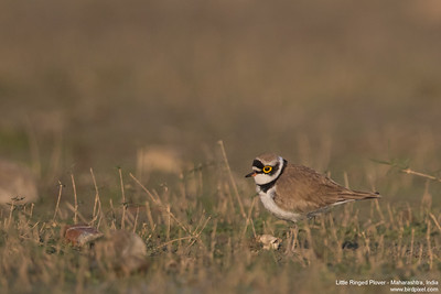 Little Ringed Plover - Maharashtra, India