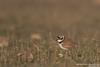 Little Ringed Plover - Maharashtra, India