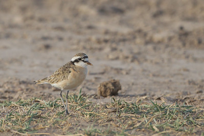 Little Ringed Plover - Amboseli National Park, Kenya