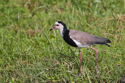 Long-toed Lapwing - Record - Amboseli National Park, Kenya