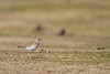 Mountain Plover - Panoche Valley, CA, USA
