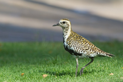 Pacific Golden Plover - Maui, Hawaii, USA