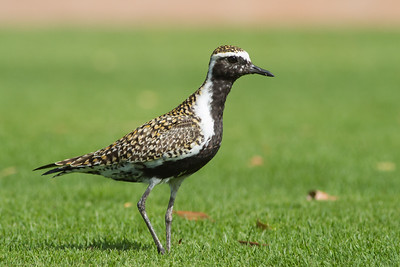 Pacific Golden Plover, Maui, Hawaii, USA
