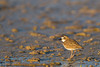 Piping Plover - Brownsville, TX, USA