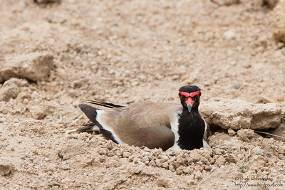 Red-wattled Lapwing - Kutch, Gujrat, India