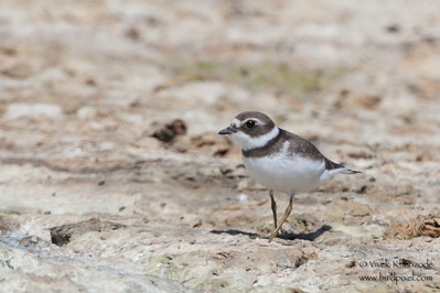 Semipalmated Plover - Record - Fremont, CA, USA