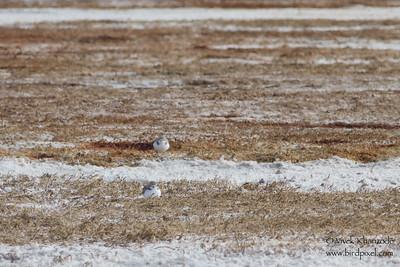 Western Snowy Plover - SFBBO Snowy Plover trip - Hayward, CA, USA