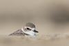 Snowy Plover - Half Moon Bay, CA, USA