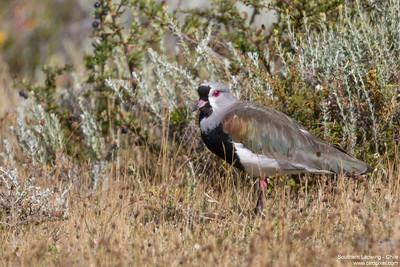 Southern Lapwing - Chile
