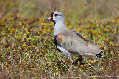 Southern Lapwing - Ushuaia, Argentina