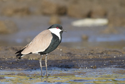 Spur-winged Lapwing - Aswan, Egypt
