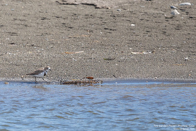 Two-banded Plover - Provenir, Chile