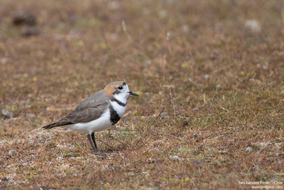 Two-banded Plover - Chile