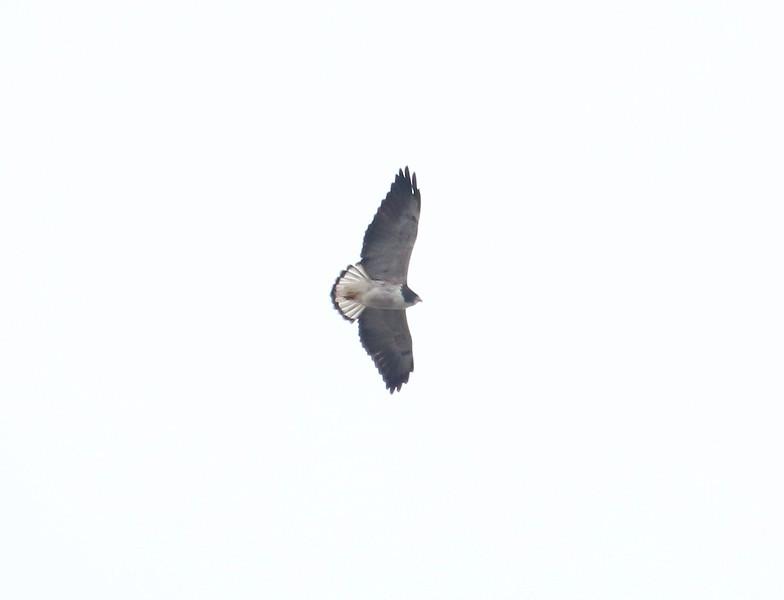 White Tail Hawk