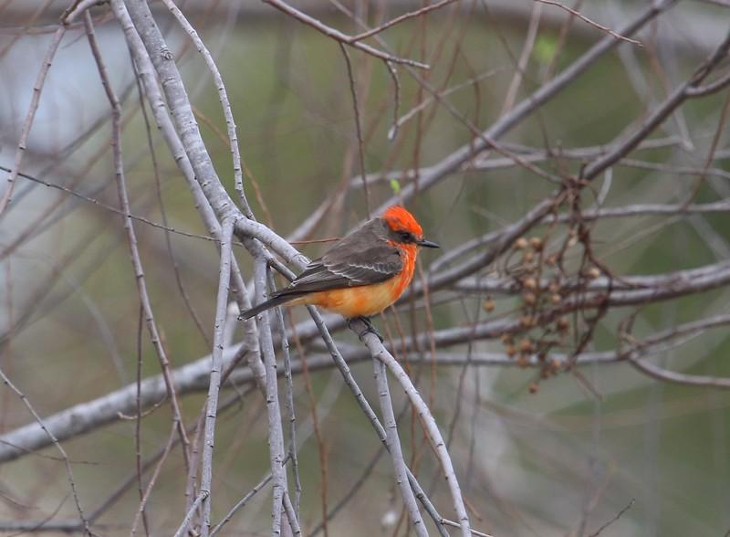 Juvenile Vermillion Flycatcher