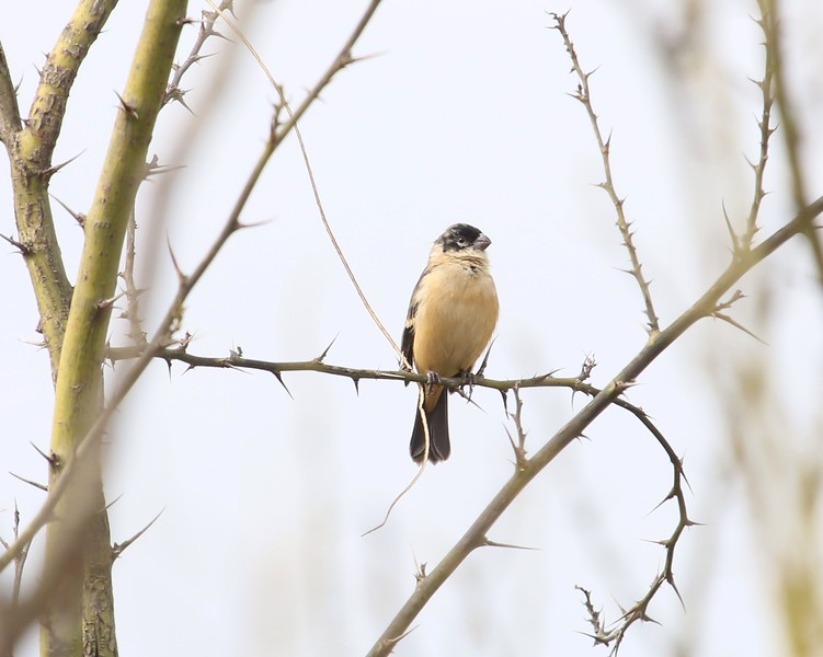 White Collared Seed Eater