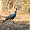 Peafowl in the forest, getting to be a rare sight.