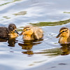 Three Ducklings in a Row