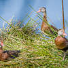Fulvous Whistling Duck Trio at Wakodahatchee Wildlife Preserve