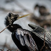 Adult Male Anhinga at Wakodahatchee Wildlife Preserve