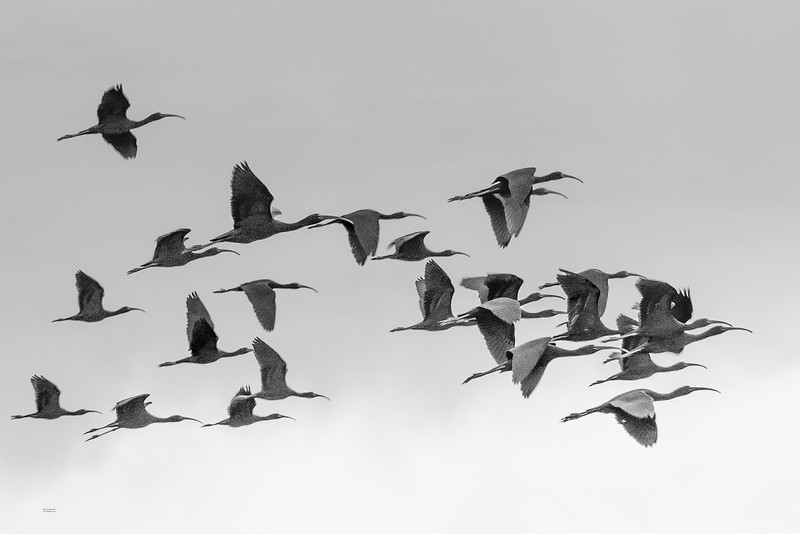 Glossy Ibis In Flight Over Parker River Sanctuary