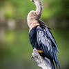 Juvenile Anhinga at Wakodahatchee Wildlife Preserve