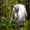 Wood Stork with Catch at Wakodahatchee Wildlife Preserve