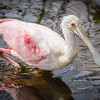 Roseate Spoonbill at Wakodahatchee Wildlife Preserve