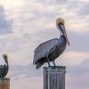 Pelican and Pelican