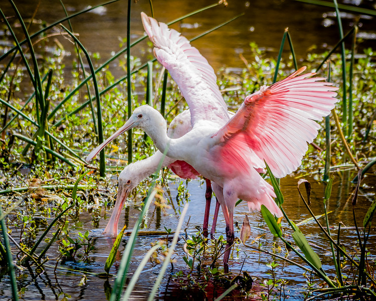 Roseate Spoonbills at Green Cay Wetlands