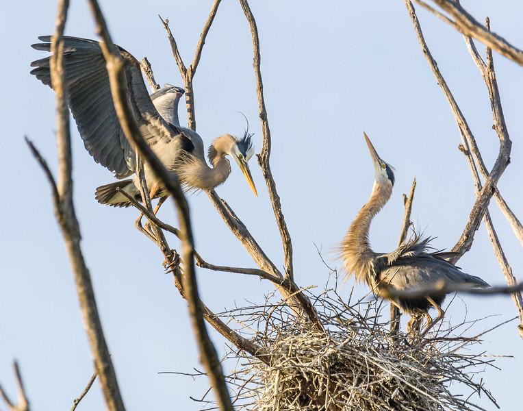 Great Blue Herons Greeting