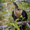 Juvenile Anhinga with Catch at Wakodahatchee Wildlife Preserve