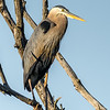 Great Blue Heron at Spicket River Rookery