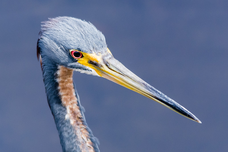 Tricolored (Louisianna) Heron