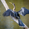 Adult Female Anhinga at Wakodahatchee Wildlife Preserve
