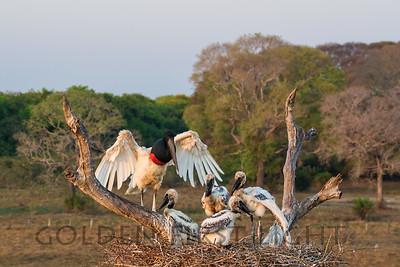 Jabiru Stork, Pantanal Brazil