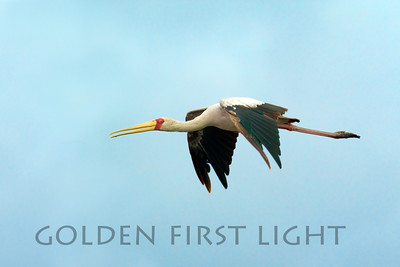 Yellow-billed Stork, Kenya