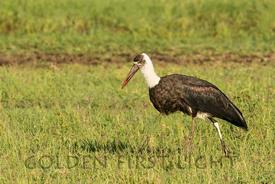 Woolly-necked Stork, Kenya