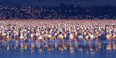 Lesser Flamingo, Kenya