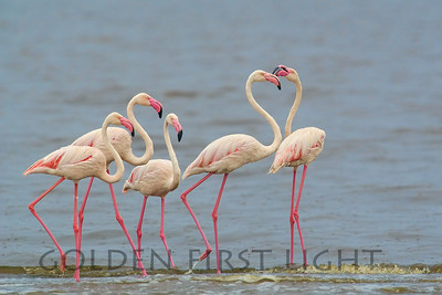 Greater Flamingo, Kenya