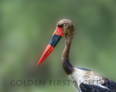 Saddle-billed Stork, Kenya