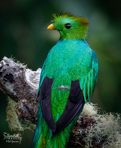 Beautiful male resplendent quetzal