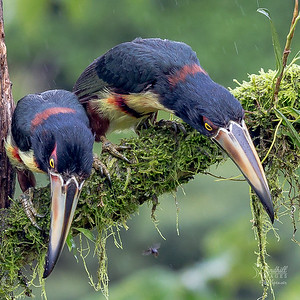 Collared aracaris up to no good in the rain