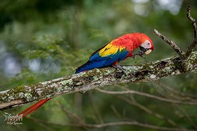 Gorgeous wild scarlet macaw